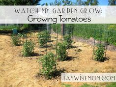 Growing Tomatoes {Watch My Garden Grow Series}