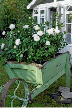 White roses in a wheelbarrow
