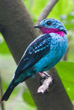 Spangled Cotinga (Cotinga cayana) Male