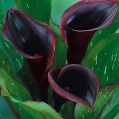 Hoodoo Hill: Midnight Garden, Black Garden, Mourning Garden