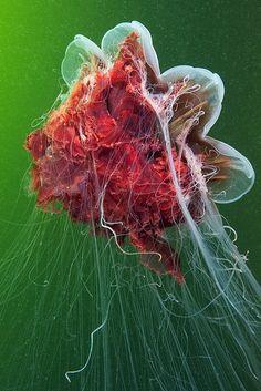 Cyanea jellyfish