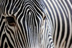 A zebra's stripes make it hard for a lion or leopard to pick out 1 zebra to chase.