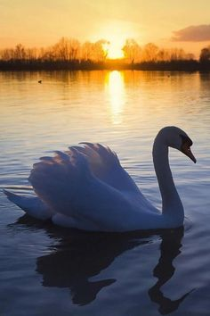 Swan in the sunset