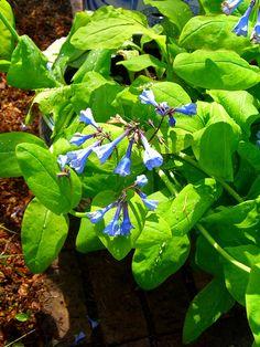 Virginia Bluebells - mertensia virginica. Virginia native plant