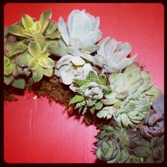 #succulentwreath #succulents http://www.russwholesaleflowers.com/wholesale-succulent-sale  RusswholesaleFlowers.com offers the best wholesale succulent prices available to the public online.  wholesale succulents for bouquets, special events, wreaths, diy and more.  3 different sizes to meet your needs.