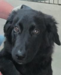 Suzy (URGENT!) is an adoptable Labrador Retriever Dog in Chicago, IL. Suzie is a very beautiful, easy-going, loving, gentle and affectionate 4.5 month old female Labrador/Golden Retriever mix in need ...