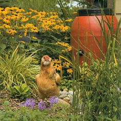 """Free Range Chicken Gardens, How to Create A Beautiful Chicken-Friendly Yard.    """"Many of the same principles of traditional gardening come into play when designing a chicken garden. You should design your garden with a tree layer, a grass layer, a ground cover layer, etc. etc. Having all that diversity allows the chickens to have many foraging and shelter options."""" Jessi Bloom"""