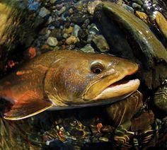 Bull Trout fli fish, fish bucket, bull trout