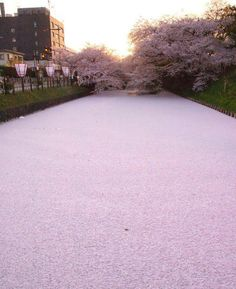 Japanese river filled with cherry blossom petals