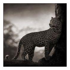 Leopard in Crook of Tree, Nakuru 2007