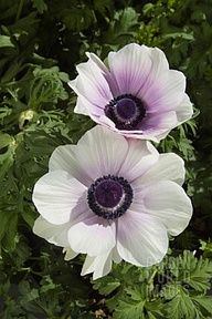 ANEMONE CORONARIA 'HARMONY PEARL' Planting these in the front flowerbed.