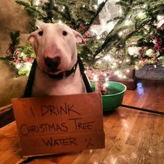 I drink Christmas tree water.. Lol