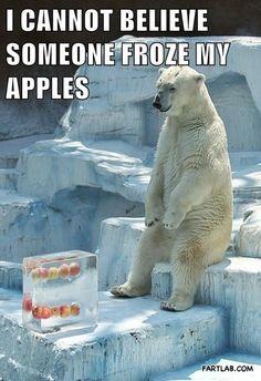lunch break, funny animals, ice blocks, polar bears, funny animal pictures, lunches, funni, polarbear, apples