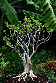 ikebana inspir, bonsai collect