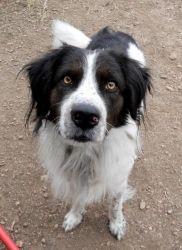 Jerry is an adoptable English Springer Spaniel Dog in Westminster, CO. Jerry is a 1-2yr Springer Spaniel X. He is a bigger guy at about 45lbs. He found himself alone on the streets and then animal con...