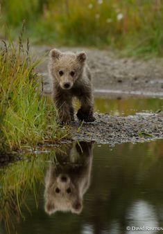 Baby brown bear near Silver Salmon Creek Lodge (Alaska)