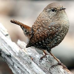 I have lots of wrens in my yard, great to have for the following reasons! - Brown or Grey feathered, Wrens are lively & vocal, insect eaters, have a beautiful song, great to watch in the Spring. They devour sawfly larvae! So put up those wren houses!