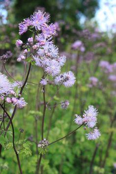 close up of #Thalictrum #aquilegifolium  #atropurpureum flower heads...