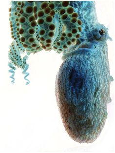 Negative octopus