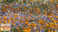 Namaqua Flower Beach Flower Camp - http://www.namaquaflowerbeachcamp.com/