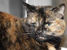 PetHarbor.com: Miss Pumpkin, spayed female about 1 year 1 month old, Humane Soc. of Washington Co., Hagerstown, MD, at shelter since Dec. 2013