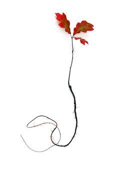 oak sprout in autumn (mary jo hoffman)