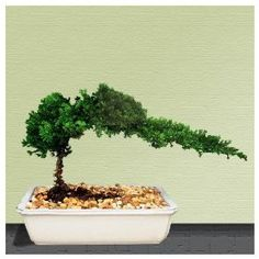 Bonsai Juniper Tree-- similar to one we have