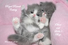 Persian kittens in the nursery at Royal Rascals Cattery