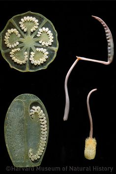 Glass Flowers by Leopold Blaschka. Cross section. Harvard Museum of Natural History
