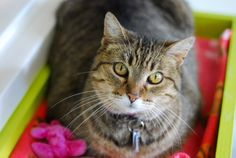 Eve (10yrs) is a sweet lady who would love to introduce you to her fabulous garden of love. One look into her pretty big eyes and there's no turning back! Come by and meet her at PAWS Cat City in Seattle. Eve's adoption fee is waived as part of our Senior Cat Adoption Special for cats 10yrs+. http://www.paws.org/cats-and-dogs/adopt/available-pets/
