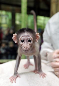 This Baby Monkey Is Very Shy His giant, dewy eyes will shatter your heart into a million pieces. This poor little fella is named Loango, and he was rejected by his mother shortly after birth. Fortunately, he's being hand raised by zookeepers in Paris.