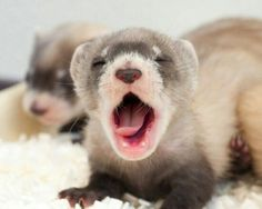 And ferret lovers across the galaxy faint away and die from cuteness. *thud*