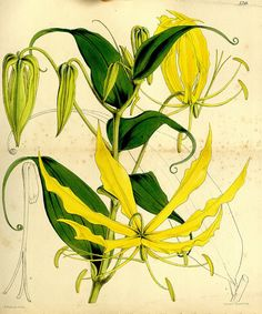 Lily, Curtis's botanical magazine, London; New York , v.86, 1860