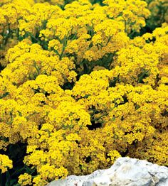 basket of gold plant as ground cover in back patio area and front yard garden bed