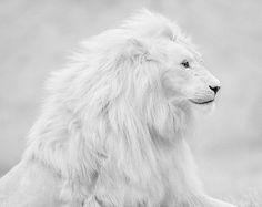 white snow lion, white lion, lions