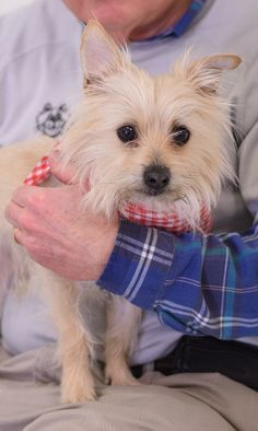Roscoe is adorable.  He is a very sweet little guy who is a bit shy.  But being a tiny fellow in a noisy shelter can be a bit unnerving.   He is house broken and good with kids, cats, and other dogs. Roscoe is a 2 year old Shih Tu mix who came to...