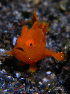 Juveniles Painted Frogfish
