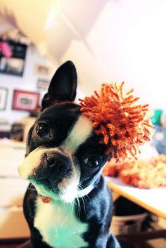 Boston Terrier terriers, babi dog, boston babi, ador boston, boston terrier