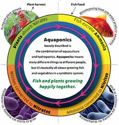 #Aquaponics: Fish and plants growing happily together. #gardens