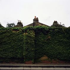 Climbing ivy on a brick wall.