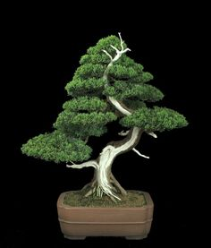 trays, bonsai trees, artists, galleries, juniperus chinesi, tree art, pine, bonsai art, ancient art