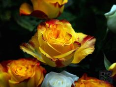 ROSE BICOLOR ORANGE YELLOW