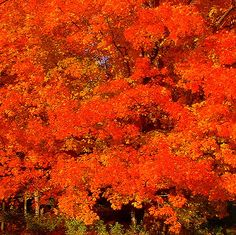 Fiery Fall Foliage.  Vermont.