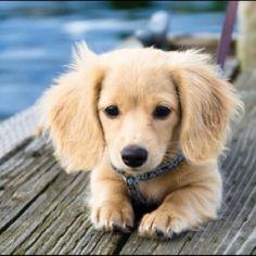 Golden Retriever Wiener Dog...I want one