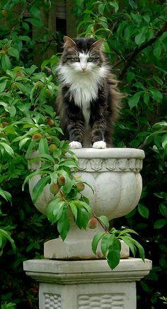 cats, plant, garden statuary, maine coon, gardens, pedestal, beauty, kitti, kitty