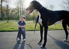 great danes, anim, funny pictures, pet, funni, puppi, walk, big dogs, kid