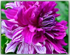 Speckled Purple Dahlia