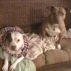 my rescued girls... Libby and Blossom #pitbull #rescue #dog