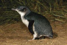 Penguin Parade | Phillip Island