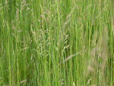 Meadow fescue - edible plants for Leopard Tortoise (all)